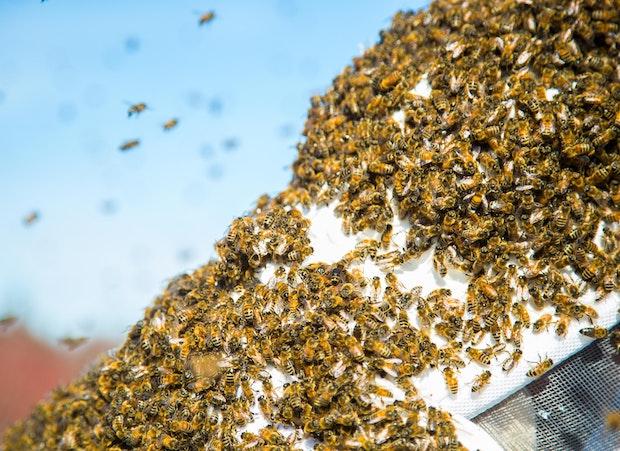 Essaimage abeilles
